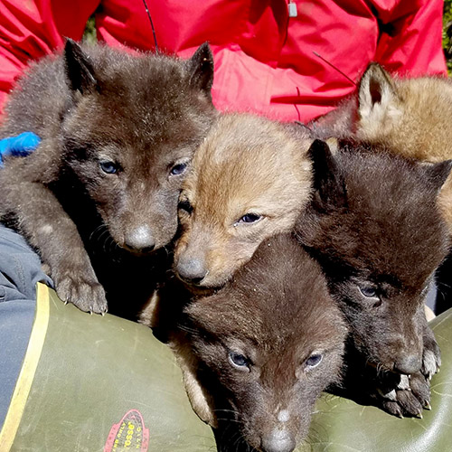 five wolf pups on a mat with a researcher's body in the background