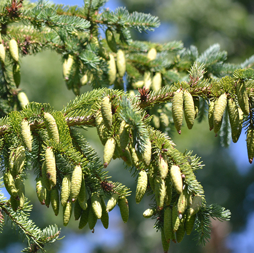 White spruce cones hanging from tree branches