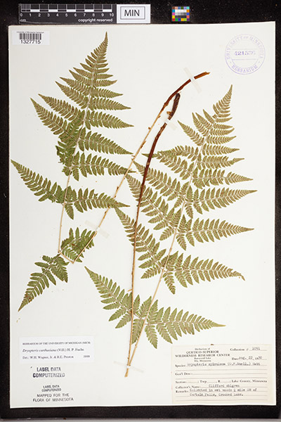 Spinulose Wood Fern samples documented in the MN Biodiversity Atlas